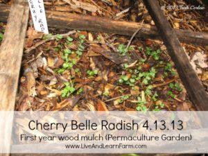 Cherry Belle Radish Perma-culture Garden