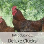 Introducing….. Deluxe Clucks
