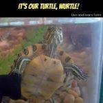 Meet our Turtle Wurtle!