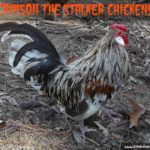 C is for Crimson – The Stalker Chicken!
