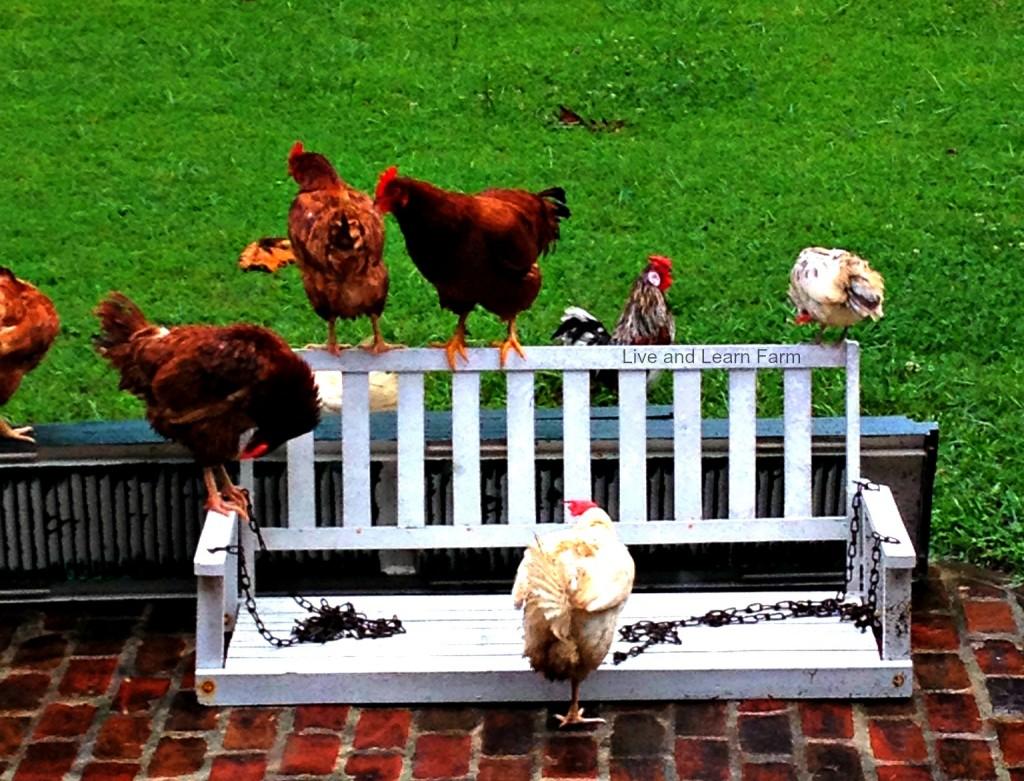 bynj chickens 2